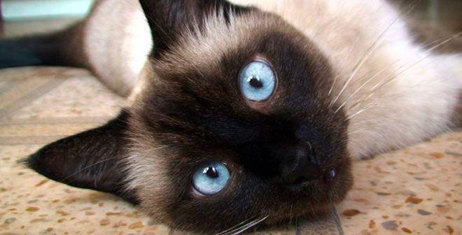 Il Gatto Siamese Un Gatto Magnetico Affascinante E Simil Umano