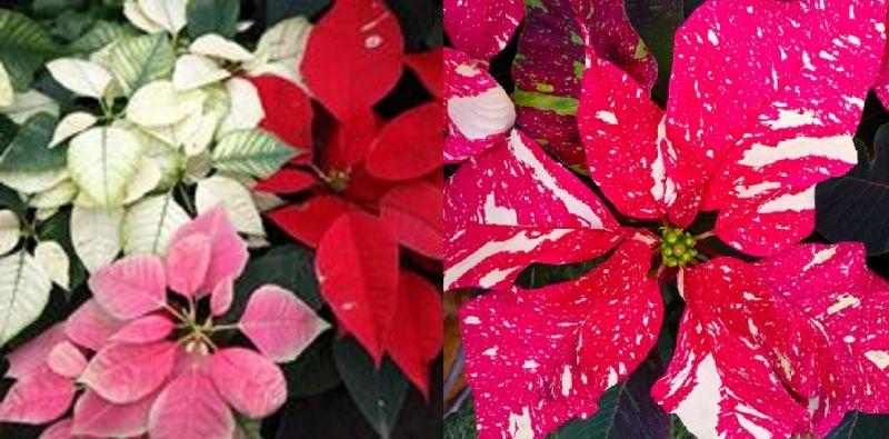 Stella Di Natale Cura E Manutenzione.Stella Di Natale La Pianta Piu Regalata A Natale Come Farla Durare