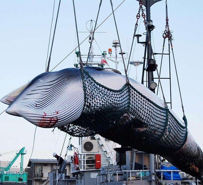Il_Giappone_riapre_la_caccia_alle_balene:_le_specie_più_a_rischio