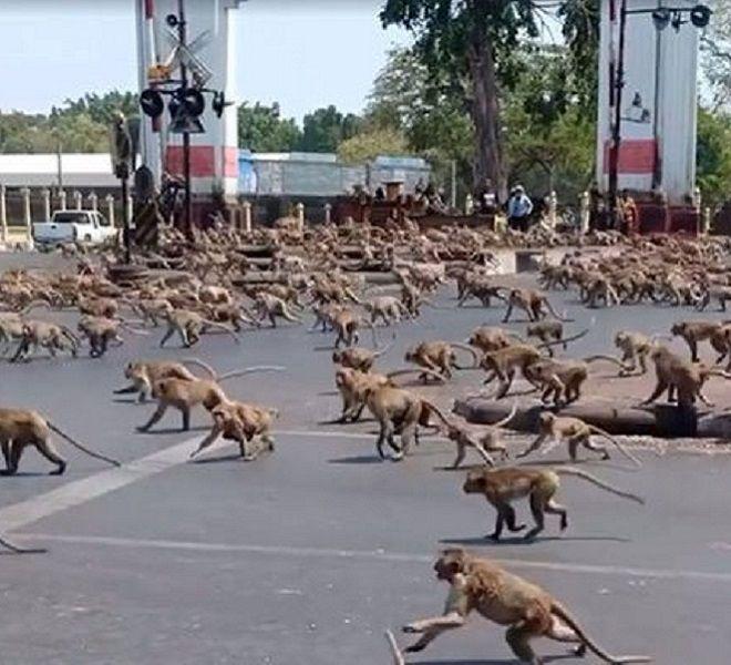 """Thailandia:_le_scimmie_""""conquistano""""_la_città_di_Lopburi_"""