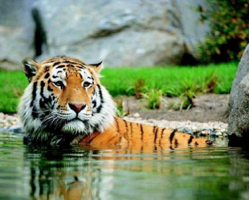 Uomo leone contro natura tigre international web post - Uomo leone a letto ...