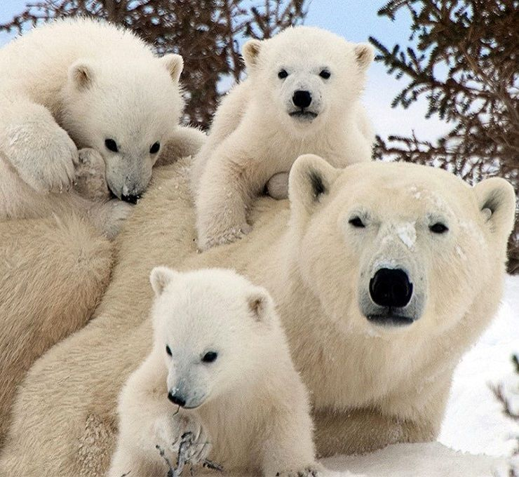 Gli_orsi_polari_invadono_l'arcipelago_di_Novaja_Zemlja